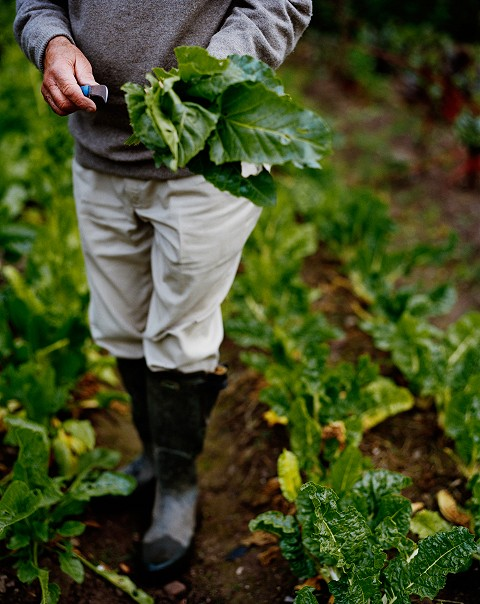 Picking fresh vegetables in the walled garden